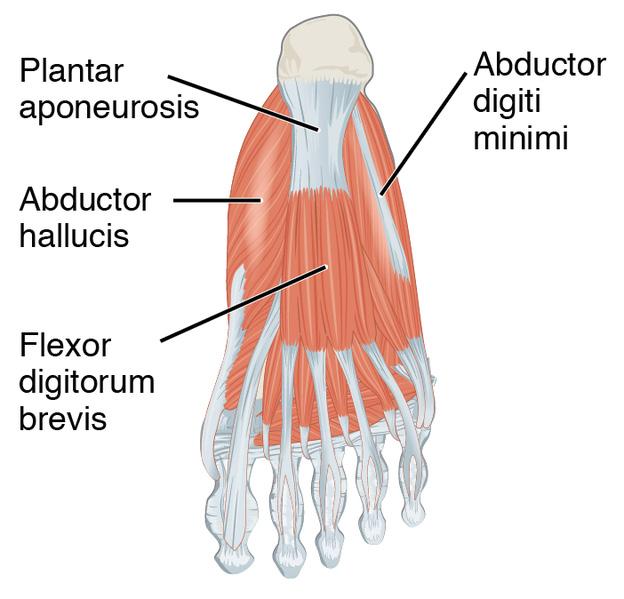 כאבים בעקב – פלנטר פצאיטיס