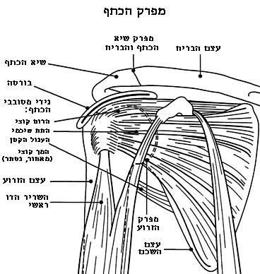 כתף קפואה - מבנה הכתף
