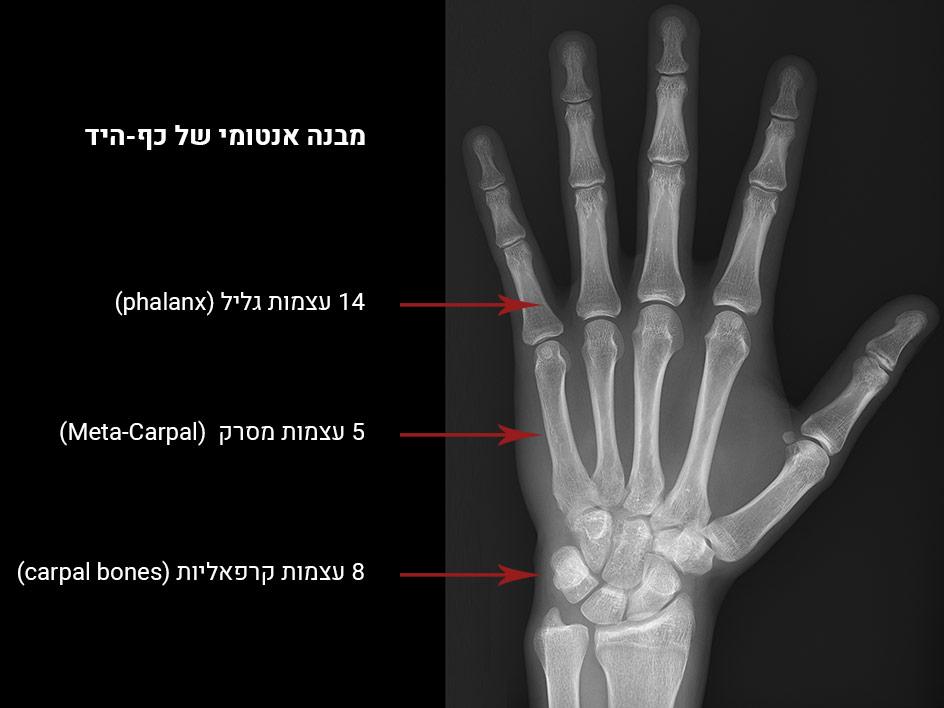 כאבים בכף היד - מבנה כף היד