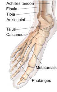 כאבים בגב כף הרגל - מבנה אנטומי של כף הרגל